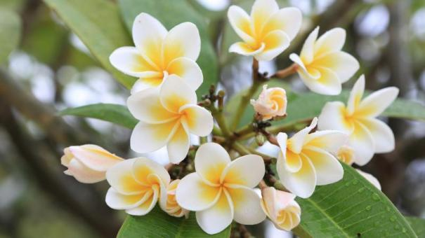 frangipani_fiori